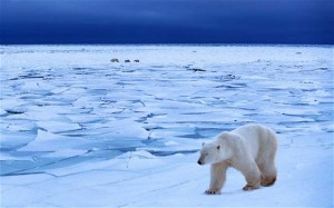 Polar Bears Ice Caps Climate Change Global Warming