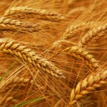 wheat-procurement-food-gmo