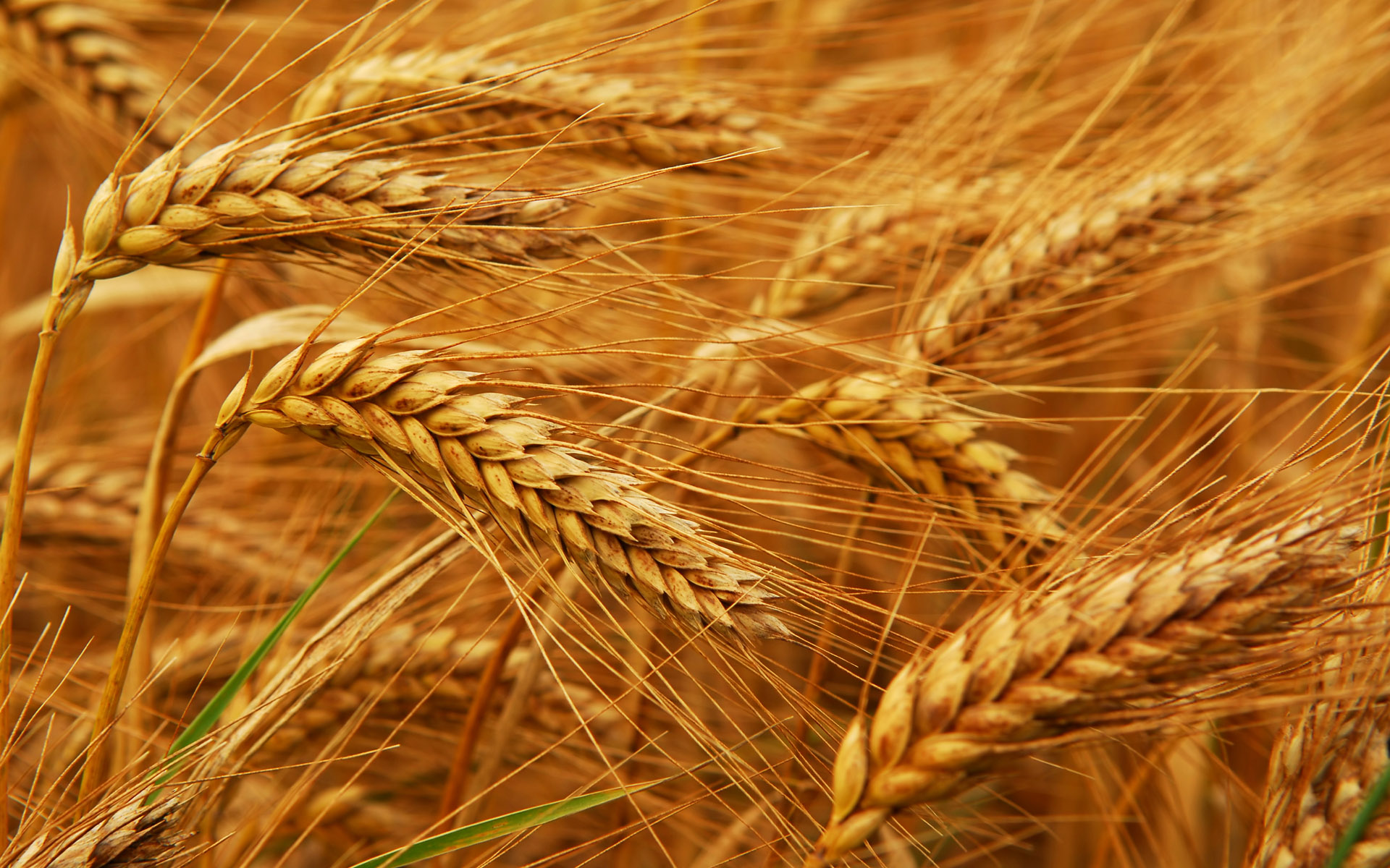 wheat-procurement-food-gmo