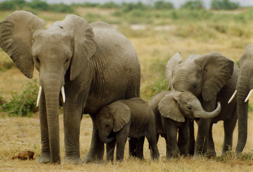elephants_endangered species_PETA