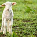 95937541-RESTRICTED-Aminals-lamb-large_transeo_i_u9APj8RuoebjoAHt0k9u7HhRJvuo-ZLenGRumA